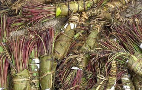 Bottes de miraa (variété kényane).